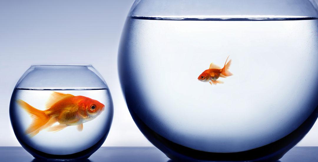 Gold fish in fish bowls